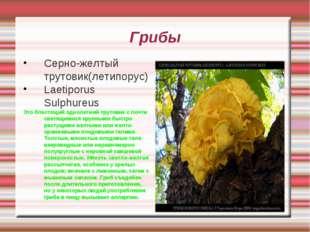 Грибы Серно-желтый трутовик(летипорус) Laetiporus Sulphureus Это блестящий од
