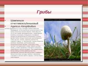 Грибы Шампиньон отчетливоклубеньковый Agaricus Abruptibulbus Шляпка (диаметр