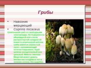Грибы Навозник мерцающий Coprinis micaceus Шляпочный гриб со свободными пласт
