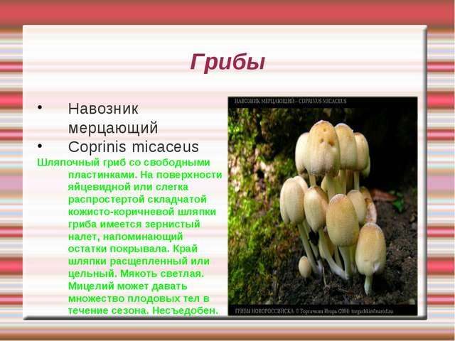 Грибы Навозник мерцающий Coprinis micaceus Шляпочный гриб со свободными пласт...