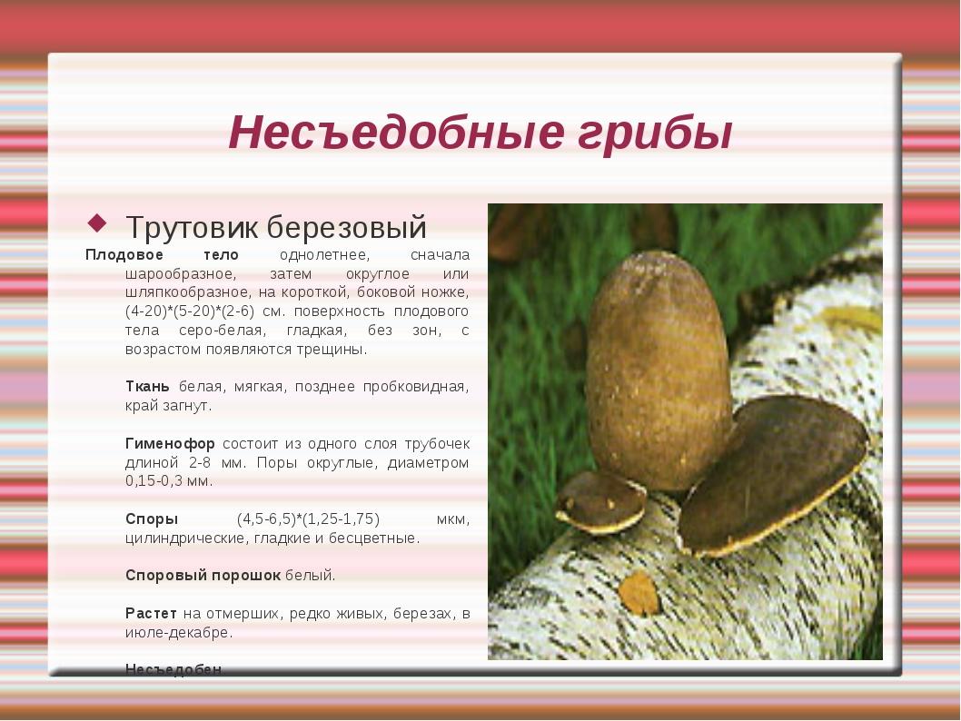 Несъедобные грибы Трутовик березовый Плодовое тело однолетнее, сначала шарооб...