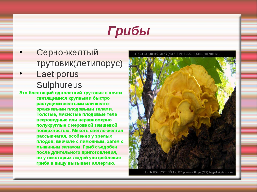 Грибы Серно-желтый трутовик(летипорус) Laetiporus Sulphureus Это блестящий од...