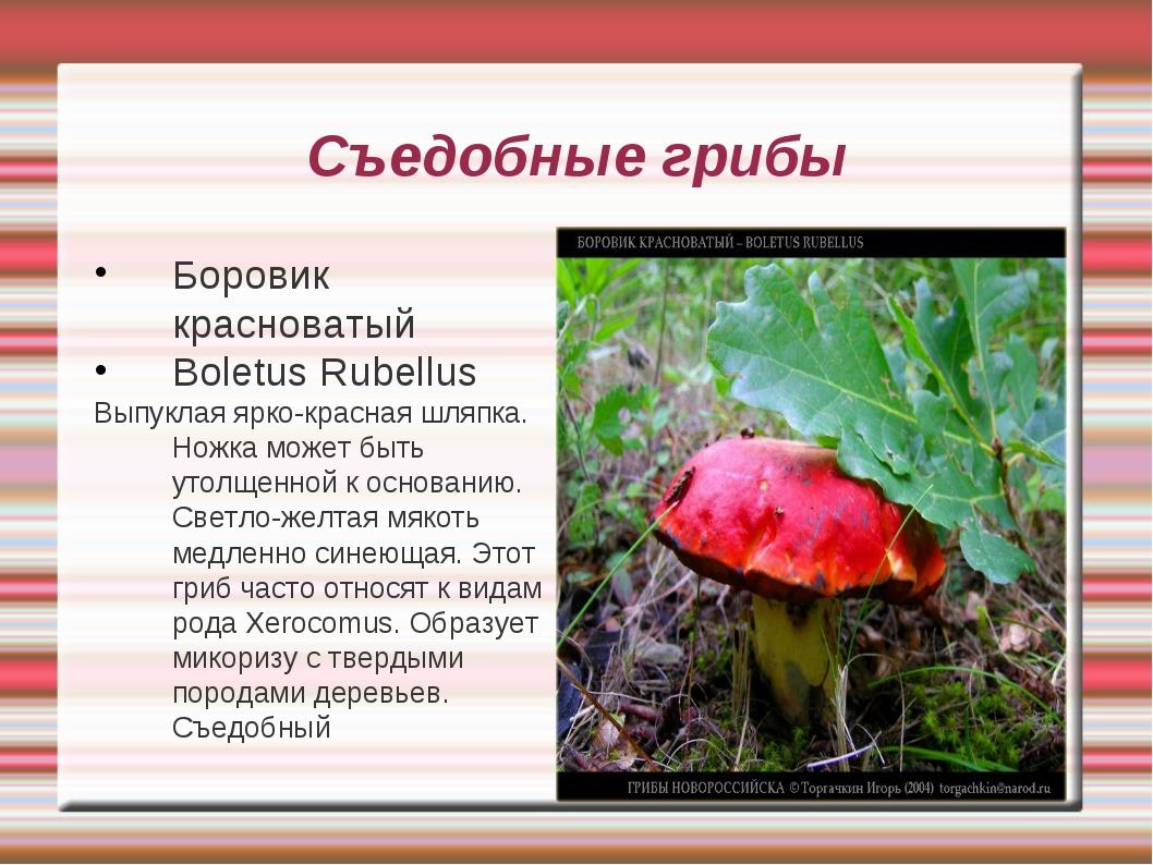 Съедобные грибы Боровик красноватый Boletus Rubellus Выпуклая ярко-красная шл...