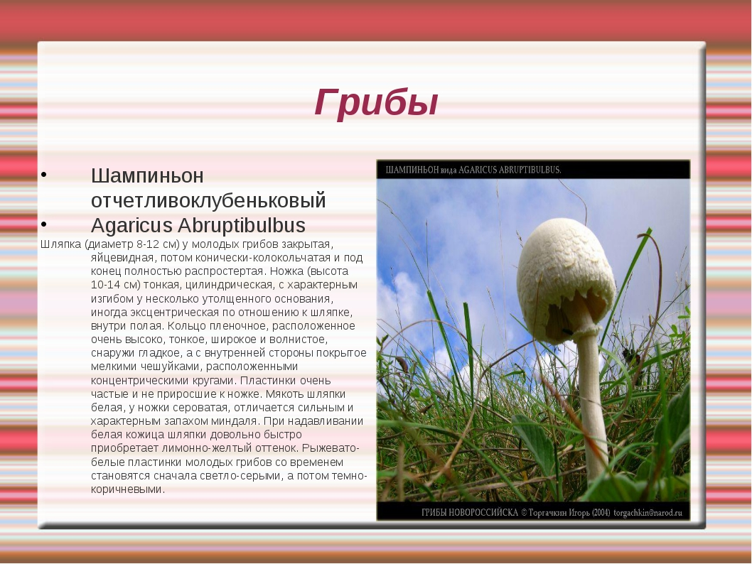 Грибы Шампиньон отчетливоклубеньковый Agaricus Abruptibulbus Шляпка (диаметр...