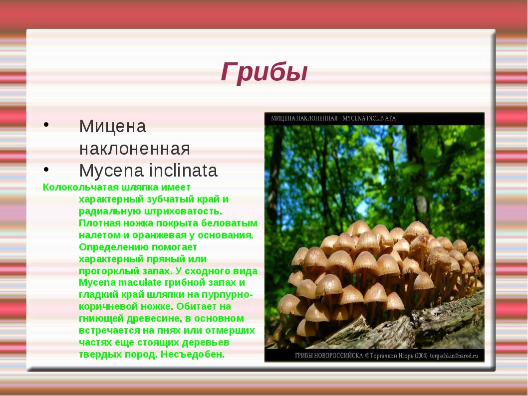 Грибы Мицена наклоненная Mycena inclinata Колокольчатая шляпка имеет характер...