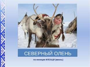 СЕВЕРНЫЙ ОЛЕНЬ по-ненецки ИЛЕБЦЯ (жизнь)