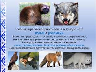 Главные враги северного оленя в тундре –это волкии росомахи. Волки, как пр