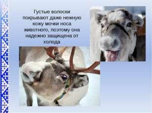 Густые волоски покрывают даже нежную кожу мочки носа животного, поэтому она н