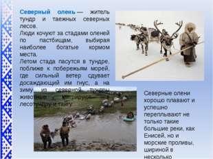 Северный олень— житель тундр и таежных северных лесов. Люди кочуют за стада