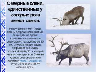Северные олени, единственные у которых рога имеют самки. Рога у самок зимой (