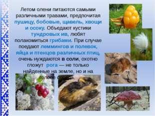 Летом олени питаются самыми различными травами, предпочитая пушицу, бобовые,