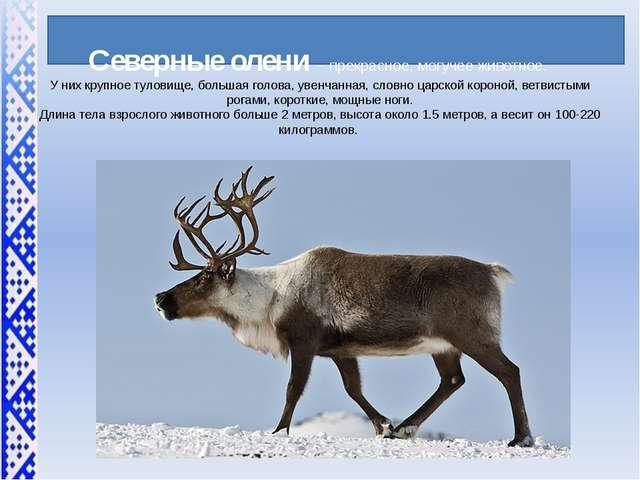 Северные олени – прекрасное, могучее животное. У них крупное туловище, больш...