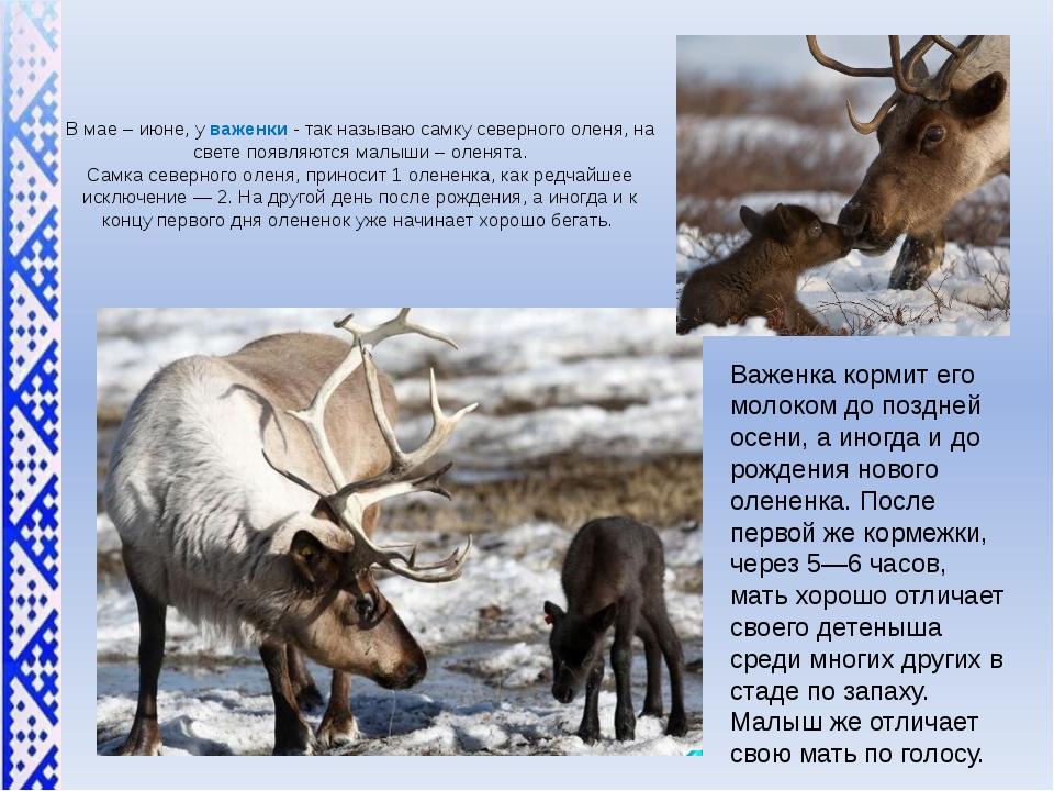 В мае – июне, у важенки - так называю самку северного оленя, на свете появляю...