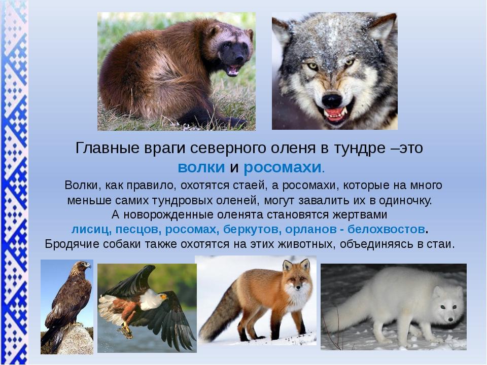 Главные враги северного оленя в тундре –это волкии росомахи. Волки, как пр...