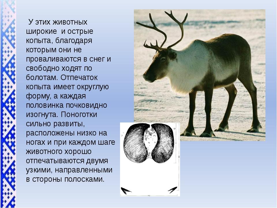 У этих животных широкие и острые копыта, благодаря которым они не проваливают...