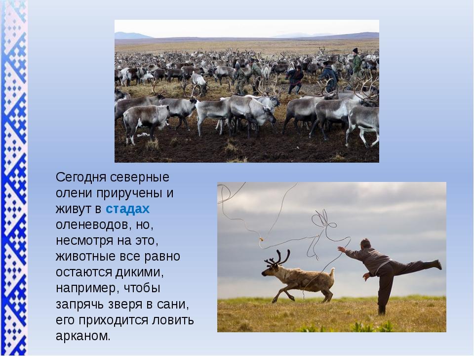 Сегодня северные олени приручены и живут в стадах оленеводов, но, несмотря на...