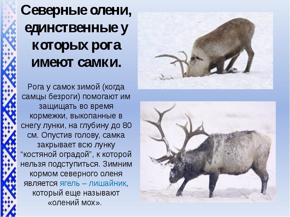 Северные олени, единственные у которых рога имеют самки. Рога у самок зимой (...