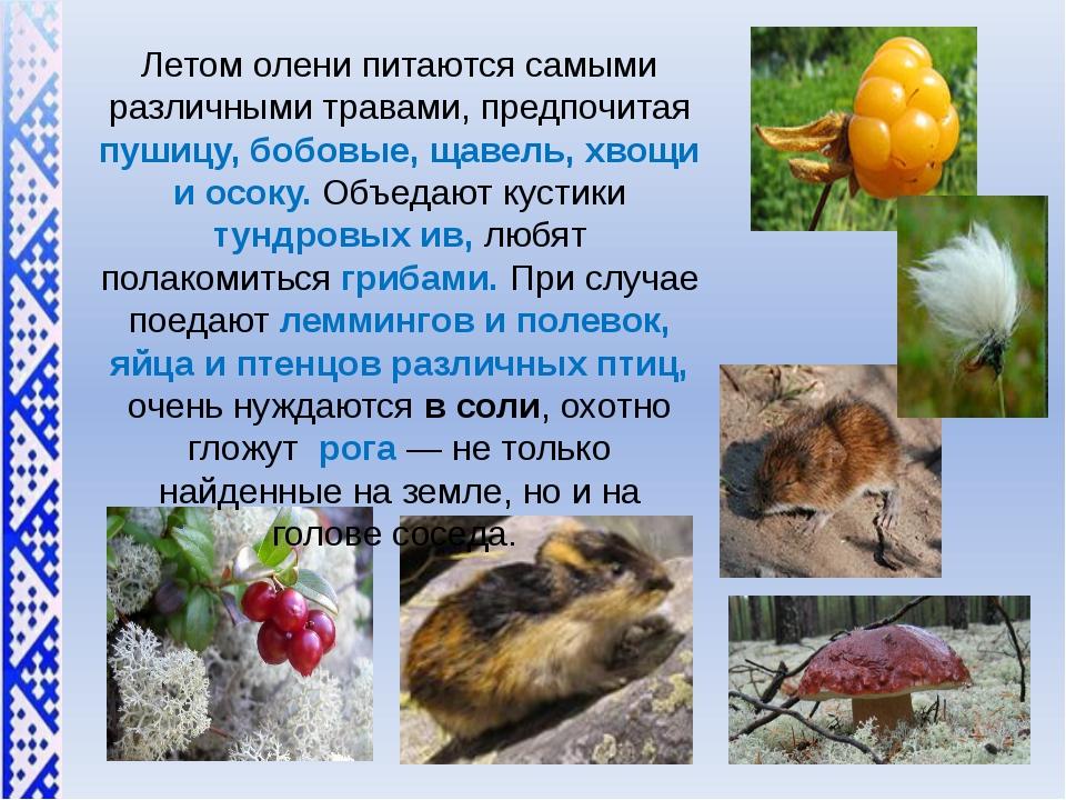 Летом олени питаются самыми различными травами, предпочитая пушицу, бобовые,...