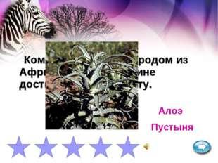 Комнатное растение родом из Африки на своей родине достигает 3 м. в высоту. А