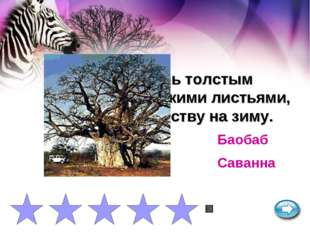 Дерево с очень толстым стволом и мелкими листьями, сбрасывает листву на зиму.