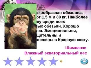 Крупная человекообразная обезьяна. Самцы достигают 1,5 м и 80 кг. Наиболее бл