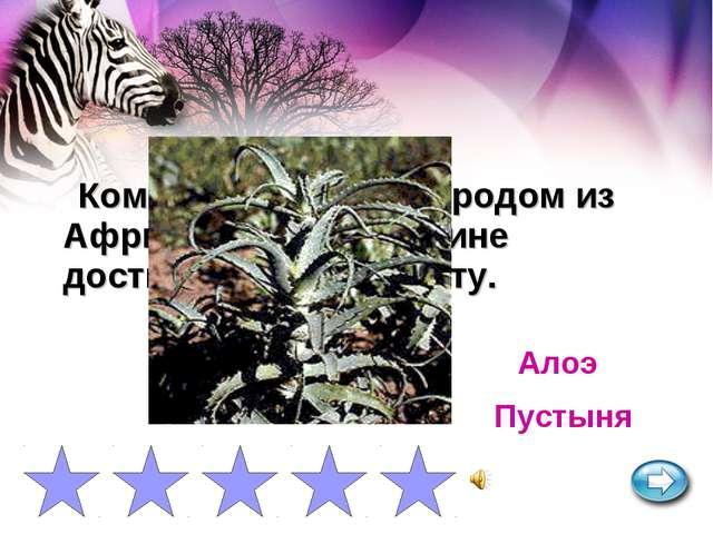 Комнатное растение родом из Африки на своей родине достигает 3 м. в высоту. А...