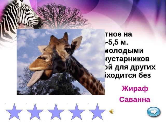 Самое высокое животное на Земле, достигающее 5-5,5 м. Питается листьями и мол...