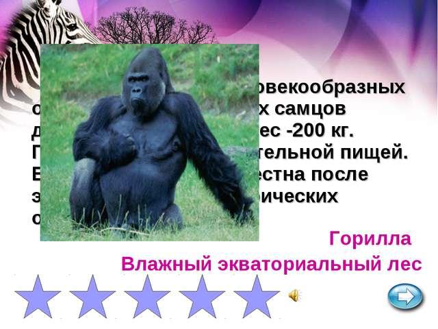 Самая крупная из человекообразных обезьян. Рост взрослых самцов достигает 2 м...