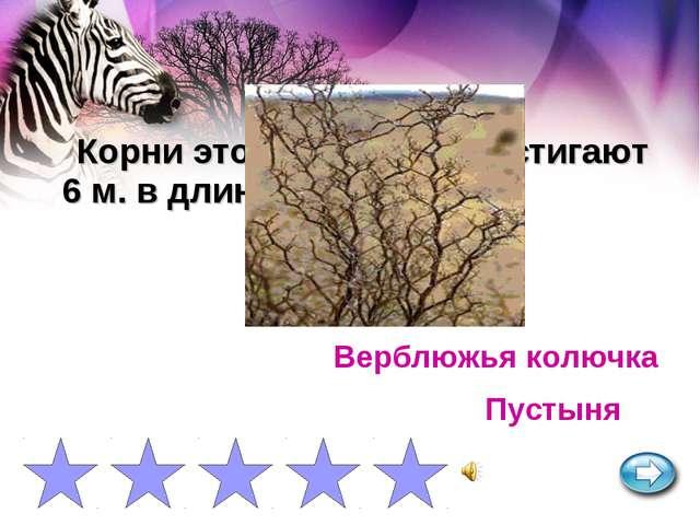Корни этого растения достигают 6 м. в длину. Верблюжья колючка Пустыня