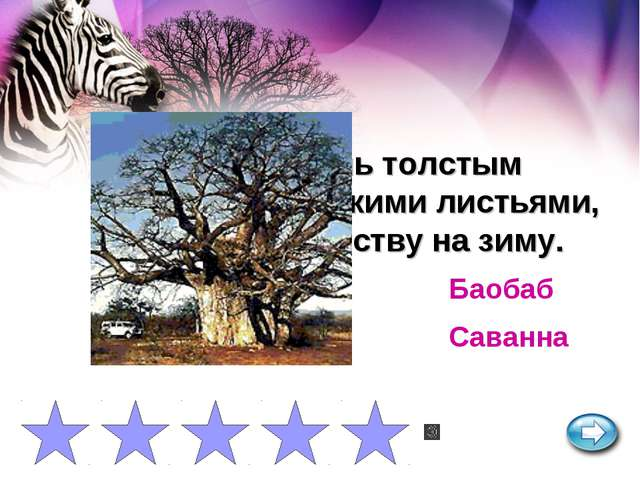 Дерево с очень толстым стволом и мелкими листьями, сбрасывает листву на зиму....