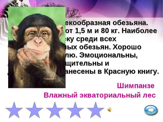 Крупная человекообразная обезьяна. Самцы достигают 1,5 м и 80 кг. Наиболее бл...