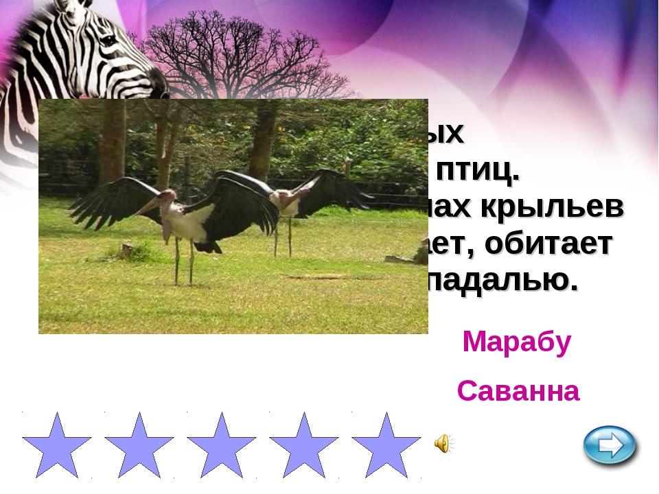 Одна из самых крупных сухопутных летающих птиц. Высота до 1,5 м и размах крыл...
