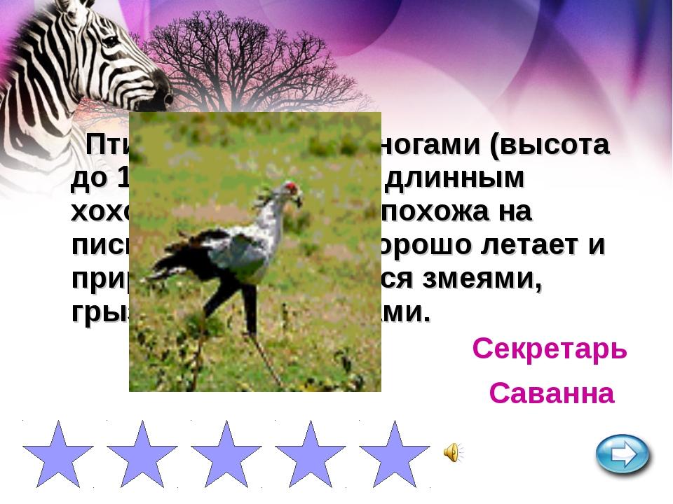 Птица с длинными ногами (высота до 150 см) и черным длинным хохолком на голов...
