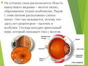 На сетчатке глаза располагается область наилучшего видения – желтое пятно, об