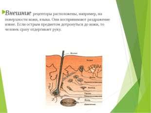 Внешние рецепторы расположены, например, на поверхности кожи, языка. Они вос