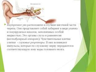 Внутреннее ухо расположено в глубине височной части черепа. Оно представляет