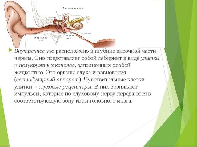 Внутреннее ухо расположено в глубине височной части черепа. Оно представляет...