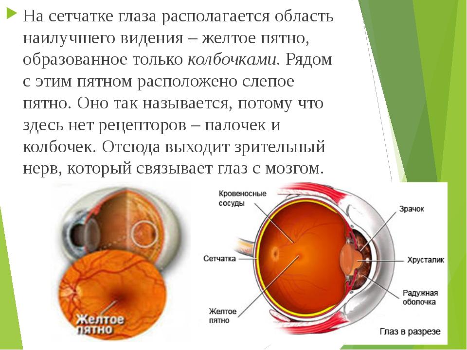 На сетчатке глаза располагается область наилучшего видения – желтое пятно, об...