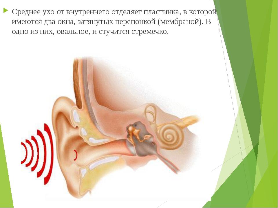 Среднее ухо от внутреннего отделяет пластинка, в которой имеются два окна, за...