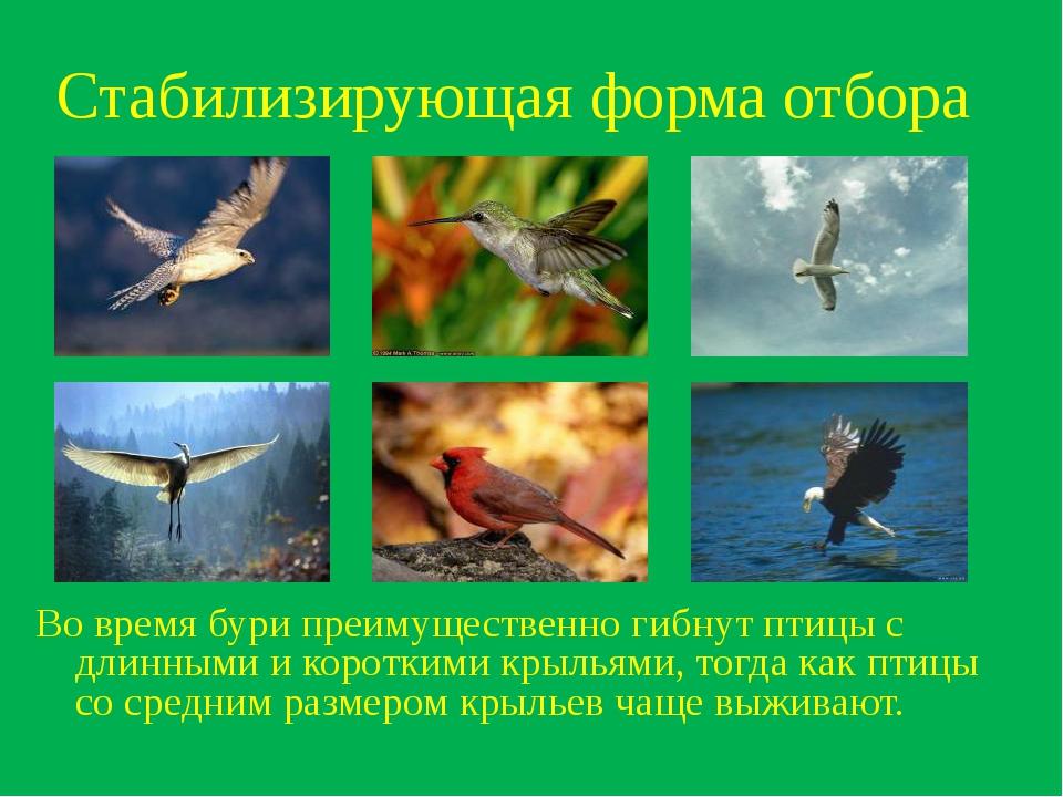 Стабилизирующая форма отбора Во время бури преимущественно гибнут птицы с дли...