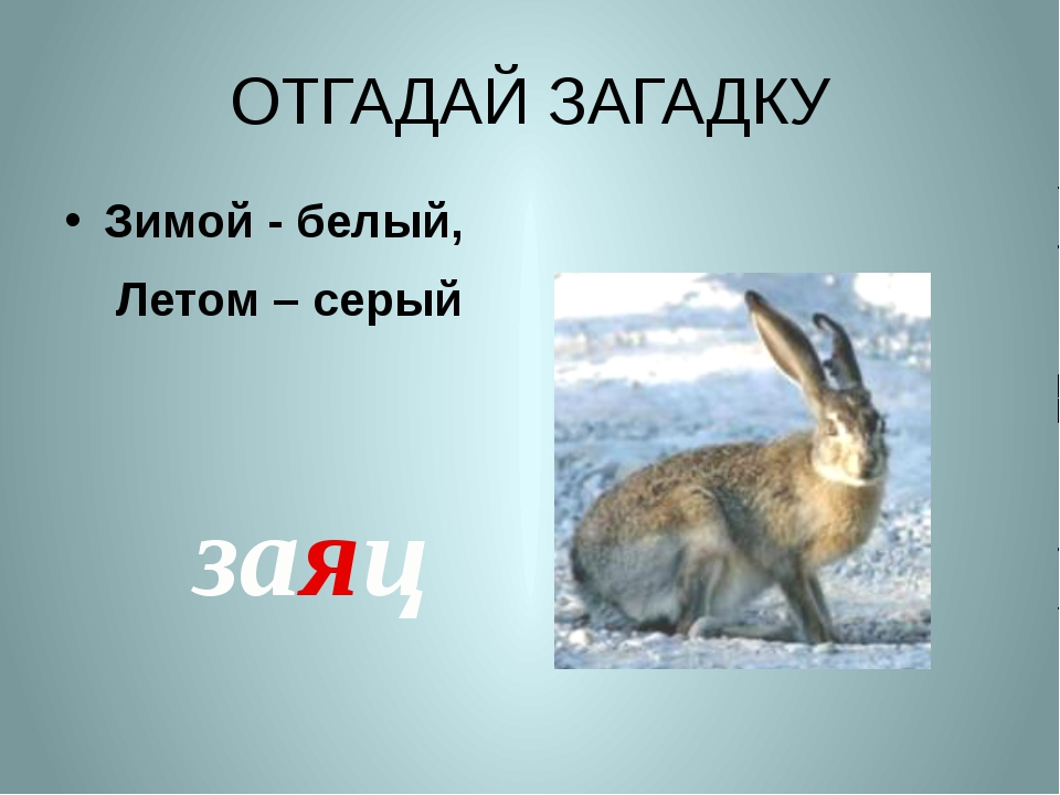 ОТГАДАЙ ЗАГАДКУ Зимой - белый, Летом – серый заяц