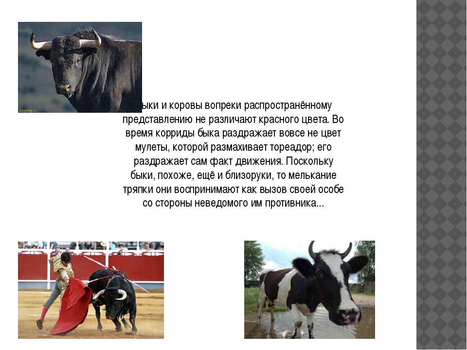 Быки и коровы вопреки распространённому представлению не различают красного ц...