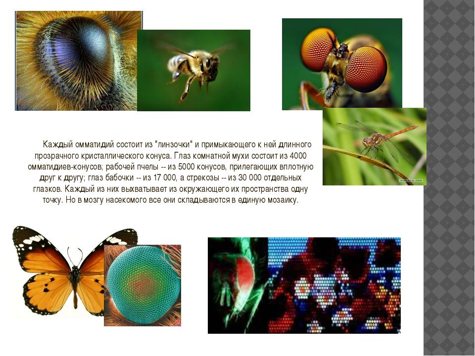 """Каждый омматидий состоит из """"линзочки"""" и примыкающего к ней длинного прозрачн..."""