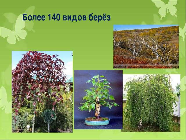 Более 140 видов берёз
