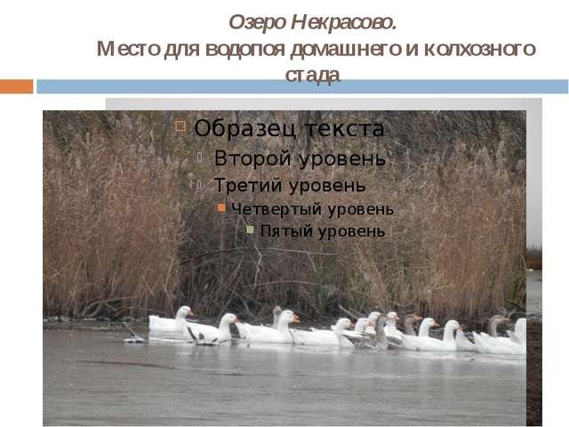 Озеро Некрасово.  Место для водопоя домашнего и колхозного стада