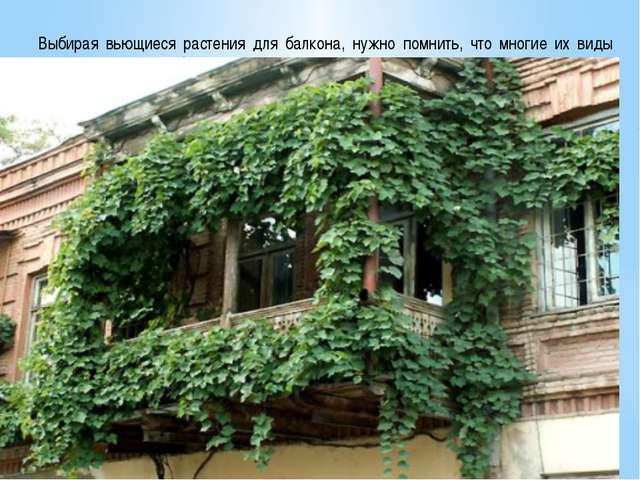 Выбирая вьющиеся растения для балкона, нужно помнить, что многие их виды дов...