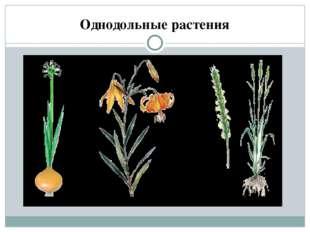 Однодольные растения Семена многих растений имеют только одну семядолю, и эт