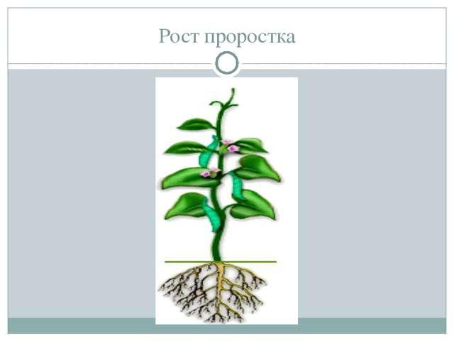 Рост проростка В землю на небольшую глубину закапывают сухое, небольшое (а ин...