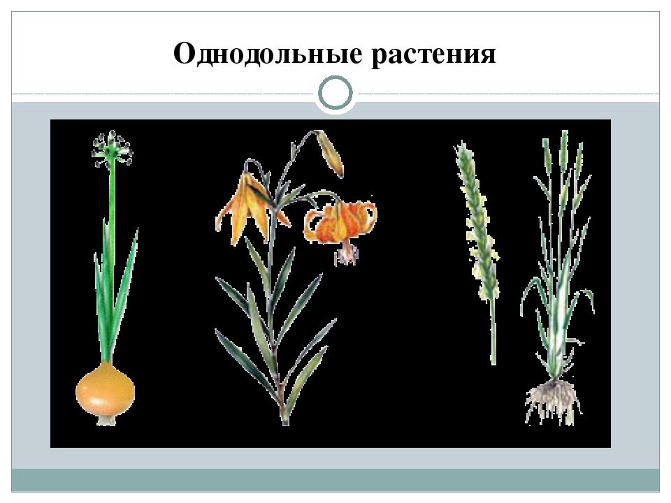 Однодольные растения Семена многих растений имеют только одну семядолю, и эт...