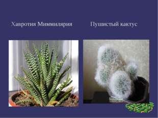 Хавротия Миммилярия Пушистый кактус